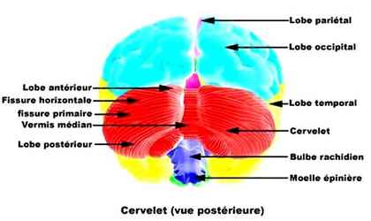 pariéto occipital gauche