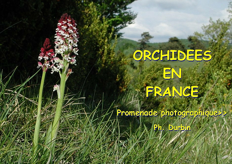 orchidee sauvage blanche france